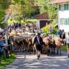 Pfrontener Viehscheid steht in den Startlöchern