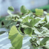 Pflanzen als Heilmittel (FOTO)