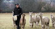Tierisches Vergnügen garantiert / In Irland bietet ein Farmer seine Alpakas für virtuelle Touren und Video-Konferenzen an (FOTO)