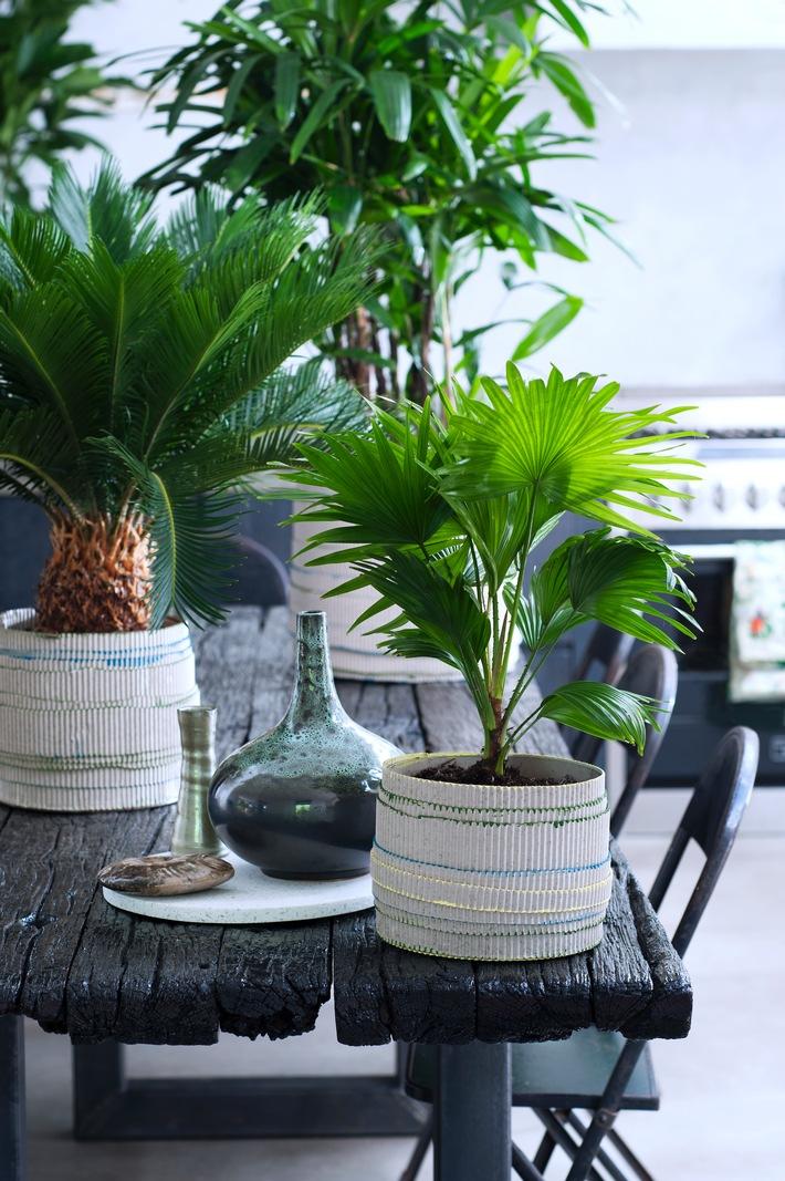 exklusive palmen sind zimmerpflanzen des monats februar harmonie pur mit gr nen indoor palmen. Black Bedroom Furniture Sets. Home Design Ideas